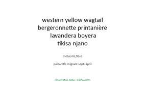 western yellow wagtail, bergeronnette printannière, lavandera boyera