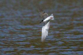 white-winged tern, guifette leucoptère, fumarel aliblanco, Nicolas Urlacher, water birds, birds of Kenya, birds of Africa, wildlife of Kenya