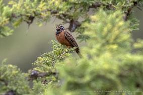 cinnamon-breasted rock bunting, bruant canelle, escribano canelo, Nicolas Urlacher, birding, birds of africa, birds of kenya, wildlife of kenya, ornithology