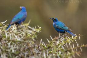 greater blue-eared glossy starling, choucador à oreillons bleus, estornino orejiazul, Nicolas Urlacher, birds of africa, birds of kenya, wildlife of kenya, ornithology