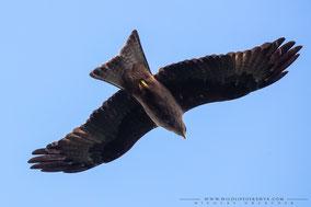 black kite, milan noir, milano negro, Nicolas Urlacher, wildlife of kenya, birds of prey