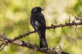 southern black flycatcher, gobemouche sud-africain, papamoscas sudafricano, nicolas urlacher, wildlifeofkenya.com