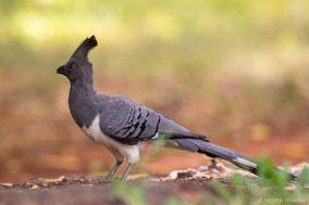 white-bellied-go-away-bird, touraco a ventre blanc