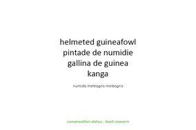 Helmeted guineafowl, pintade de Numidie, gallina de Guinea