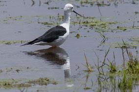 black-winged stilt, échasse blanche, cigüeñuela de alas negras