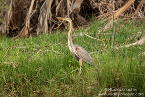 purple heron, héron pourpré, garza imperial, Nicolas Urlacher, wildlife of kenya, birds of kenya, birds of africa, water birds, wader