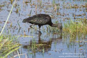 glossy ibis, amboseli, wildlife of kenya, birds of kenya, Nicolas Urlacher