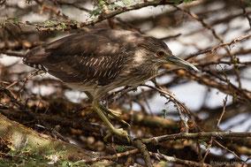 black-crowned night-heron, bihoreau gris, martinete comun