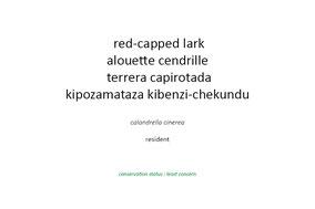 red-capped lark, alouette cendrille, terrera capirotada