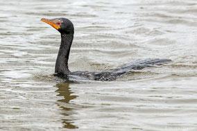 reed cormorant, long-tailed cormorant, cormoran africain, cormoran afircano, Nicolas Urlacher, wildlife of Kenya, birds of Kenya