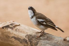 white-browded sparrow weaver, moineau tisserin a sourcils blancs, tejedor gorrion cejiblanco