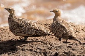 Chesnut-bellied Sandgrouse