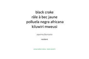black crake, râle à bec jaune, polluela negra africana