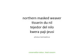 northern-masked weaver, tisserin du nil, tejedor del nilo