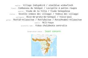 village indigobird, combassou du sénégal, stellblue widowfinch, viuda de la villa, Nicolas Urlacher, wildlife of kenya, birds of kenya, birds of africa