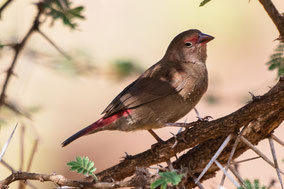 Red-billed firefinch, amarante du Sénégal, amaranta senegalesa, Nicolas Urlacher, wildlife of Kenya, birds of Kenya