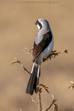 grey-backed fiscal, pie-grièche à dos gris, alcaudon dorsigris, birds of kenya, wildlife of kenya, Nicolas Urlacher