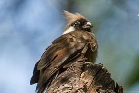 speckled mousebird, coliou rayé, pajaro raton comun, Nicolas Urlacher, wildlife of Kenya, birds of Kenya