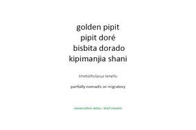 golden pipit, pipit doré, bisbita dorado