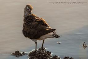 common sandpiper, chevalier guignette, andarrios chico, piro piro piccolo, Nicolas urlacher, wildlife of kenya, birds of kenya, birds of africa, water birds