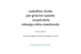 isabelline shrike, red-tailed shrike, pie-grièche isabelle, oropendola