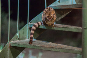 rusty-spotted genet cat, genette panthere, jineta manchada, Nicolas Urlacher, wildlife of kenya