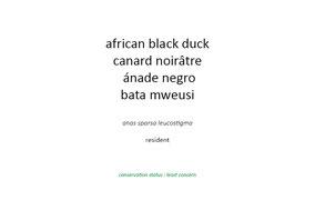 african black duck, canard noiratre, anade negro, wildlife of kenya, nakuru, birds of kenya, nicolas Urlacher