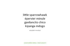 little sprarrowhawk, épervier minute, gavilancito chico, Nicolas Urlacher, birds of prey, birds of kenya, birds of africa, wildlife of kenya