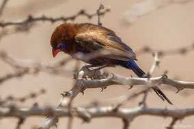 purple grenadier, cordonbleu violacé, granadero oriental, birds of Kenya, wildlife of Kenya, Nicolas Urlacher, birds of africa