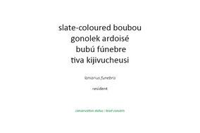 slate-coloured boubou, gonolek ardoisé, bubú fúnebre, Nicolas Urlacher; wildlifeofkenya.com