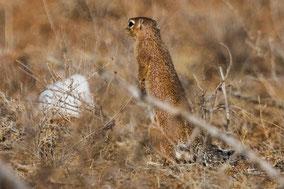 unstripped ground squirrel, écureuil fouisseur africain, ardilla terrestre lisa