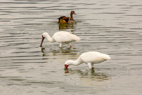 African spoonbill, spatule d'Afrique,  espátula africana, Nicolas Urlacher, wildlife of Kenya, birds of Kenya, birds of Africa, water bird