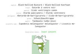 black-bellied bustard, outarde à ventre noir, sison ventinegro comun, Nicolas Urlacher, birds of kenya, birds of africa, wildlife of kenya