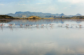 greater flamingo, flmant rose, flamenco comun, Nicolas Urlacher, wildlife of Kenya, birds of Kenya, birds of africa, water birds, waders, lake magadi