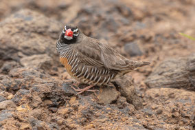 african quailfinch, astril-caille à lunettes, pinzon codorniz africano, Nicolas Urlacher, wildlife of kenya, birds of kenya