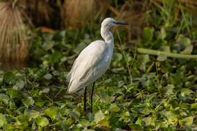 little egret,  aigrette garzette, garceta comun, Nicolas Urlacher, wildlife of Kenya, waders, water birds, birds of kenya, birds of africa
