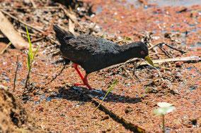 black crake, râle à bec jaune, polluela negra africana, Nicolas Urlacher; wildlife of Kenya, bird