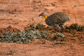 yellow-necked spurfowl, francolin à cou jaune, francolin gorjiamarillo, Nicolas Urlacher, birds of Kenya, birds of Africa, wildlife of Kenya