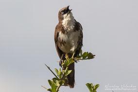 northern pied babbler, cratérope bigarré, turtoide pio, Nicolas Urlacher, wildlife of kenya, birds of Kenya, birds of africa