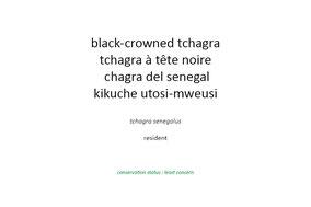 black-crowned tchagra, tchagra à tête noire, chagra del senegal