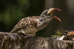 african grey hornbill, calao a bec noir, toco piquinegro