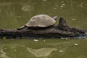 Serrated hinged terrapin, tortue pelusios, tortuga de fango serrada africana