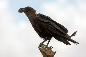 white-naped raven, corbeau a nuque blanche, cuervo cuelliblanco, Nicolas urlacher, birds of kenya, birds of africa, wildlife of kenya