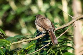 arrow-marked babbler, cratérope fléché, turtoide de jardine, Nicolas Urlacher, wildlife of kenya, birds of kenya