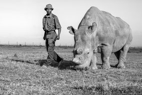 northern white rhino, rhinocéros blanc du nord, extinct in the wild