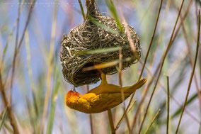 african golden weaver, tisserin jaune, tejedor dorado africano, Nicolas Urlacher, wildlife of kenya, birds of kenya, birds of africa