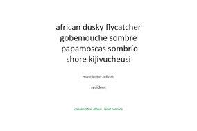 african dusky flycatcher, gobemouche sombre, papmoscas sombrio, nicolas urlacher, wildlifeofkenya.com