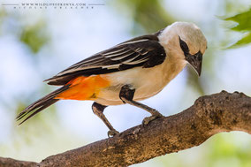 White-headed buffalo weaver, alecto à tête blanche, tejedor bufalo de cabeza blanca, Nicolas Urlacher, wildlife of kenya, bird of kenya, bird of africa