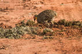 yellow-necked spurfowl, francolin à cou jaune, francolin gorjiamarillo, Nicolas Urlacher, birds of Kenya, birds of Africa, wildlife of Kenya