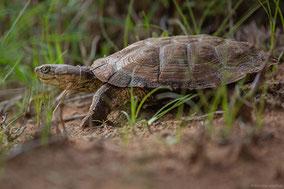 African helmeted turtle